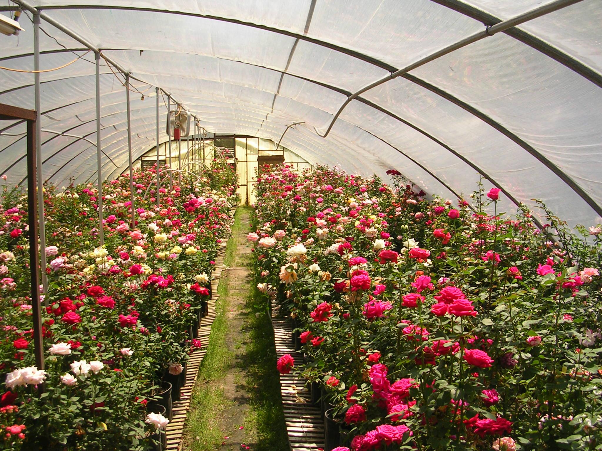 Цветы из теплицы купить, воронеже круглосуточно